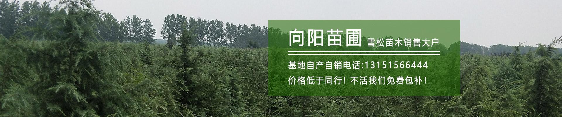 【永利工程用苗价格】南京永利工程苗批发价
